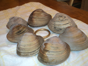 Freshly caught clams and size checking ring.
