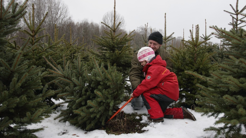 Cut Your Own Christmas Tree.Top Spots To Cut Your Own Christmas Tree In Connecticut